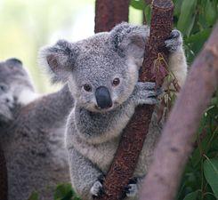 245px-Cutest_Koala.jpg